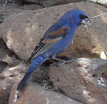 blue grosbeak southwest new mexico