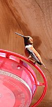 hummingbirds silver city new mexico